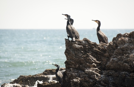 cormorants: A group of Cormorants resting on a rocky shoreline in Spain.