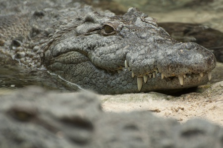 nile: A close up of a Crocodile with another Crocodile in the foreground.