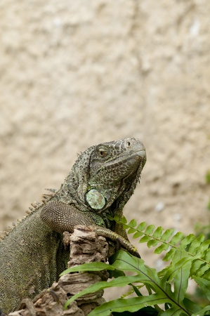detailed shot: A detailed shot of an Iguana showing the armored skin.