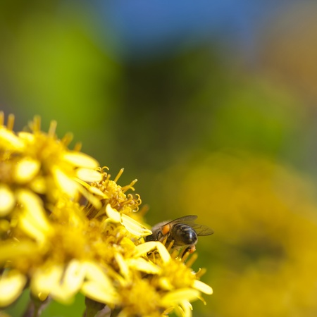 A humble Bumble Bee collecting pollen from a plant (you can see the pollen build up under the wings). Stock Photo - 13571790