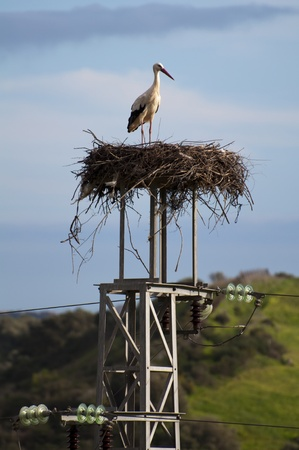 A stork standing tall in its nest looking down on the world photo