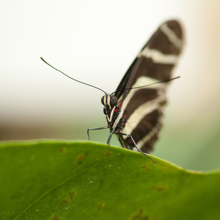 papilionidae: The Scarlet Mormon (Papilio rumanzovia) is a butterfly of the Papilionidae family. It is found in the Philippines, but has been recorded as a vagrant to southern Taiwan. It is considered a subspecies of Papilio deiphobus by some authors. Stock Photo
