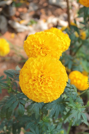 tree marigold: Marigolds