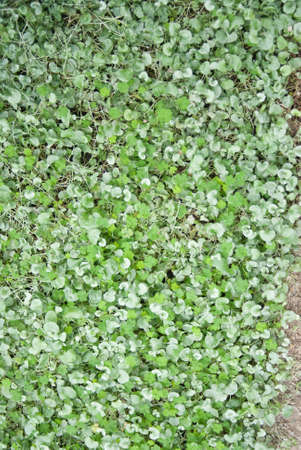 ground cover: Clover patch shamrocks create lush ground cover