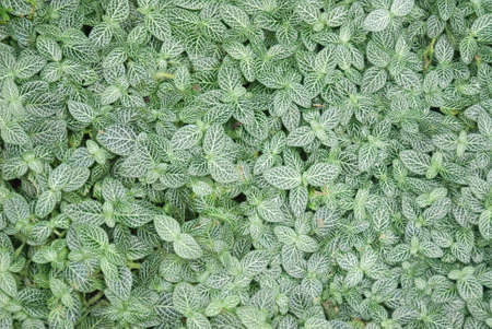 ground cover: Lush ground cover creates a carpet in the shade with varigated leaves