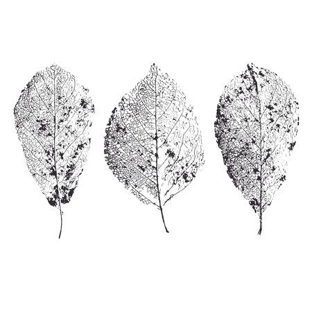 Esqueleto deja aislado. venas de las hojas.