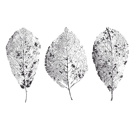 Skeleton leaves isolated. Leaf veins. Illustration