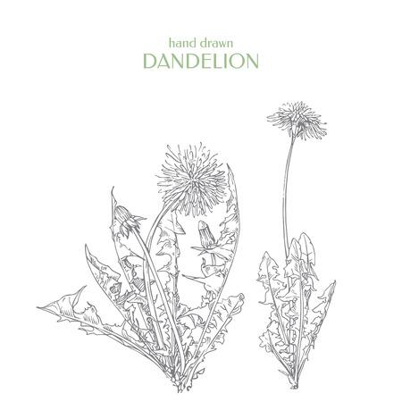 Hand drawn dandelion. Ink graphic. Taraxacum officinale.