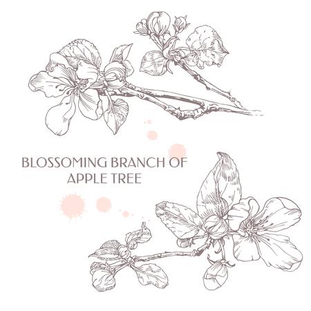 Blossoming branch of apple tree. Apple flower. Illusztráció