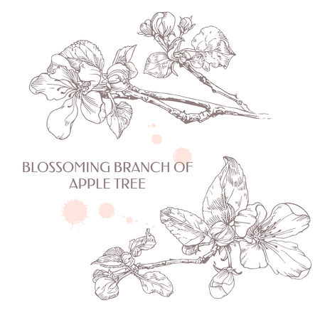 tree branch: Blossoming branch of apple tree. Apple flower. Illustration