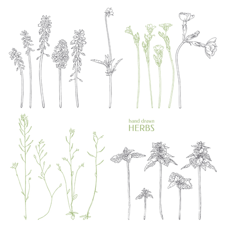 Hand drawn herbs. Ink graphic.