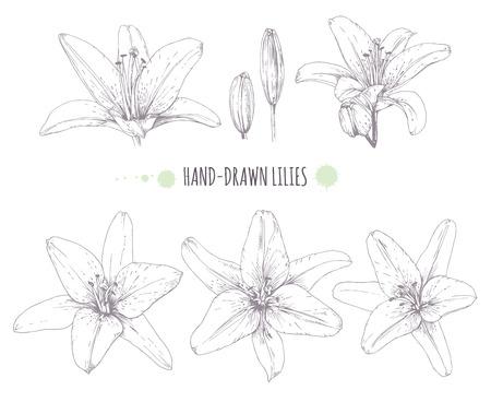 Vector graphics lilies. Set of contour lilies. Illusztráció