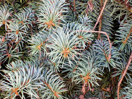 picea: Close up of Colorada Blue Spruce (Picea pungens Engelm) tree branches with new growth.