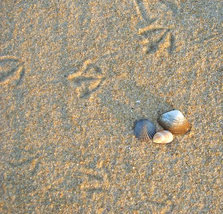 Footprints of sea birds in the sand at the beach with shells. Stock Photo