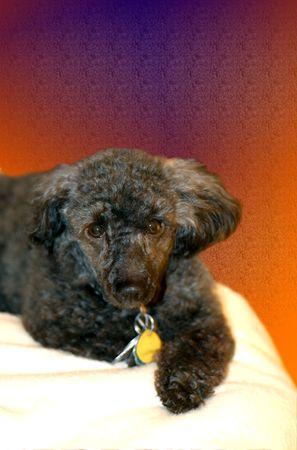 miniature poodle: Portrait of a black miniature poodle dog.