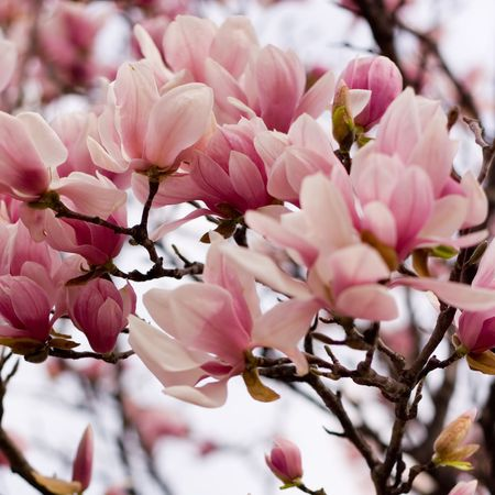 Early Spring Blossoms of a Japanese Magnolia Stock Photo - 882081