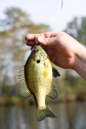 gill: Blue Gill fish caught in a lake and still on the hook.
