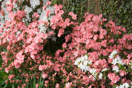 azaleas: Banks of Blooming Azaleas Along a Wooden Fence Stock Photo