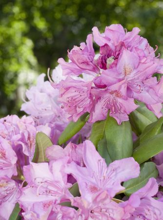 Pink Rhododendrons in a handcrafted vase on a small table covered with a crocheted tablecloth. Stok Fotoğraf