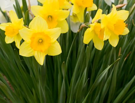 Close Up Views of White and Yellow Daffodils in Spring. Stok Fotoğraf