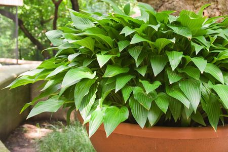hostas: Green and White Hostas Growing in Pots in the Sunlight Stock Photo