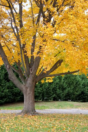 Fall tree with golden leaves, just beginning to fall in late autumn.