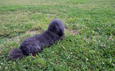 Small black poodle on leash outdoors on green grass in sunshine.