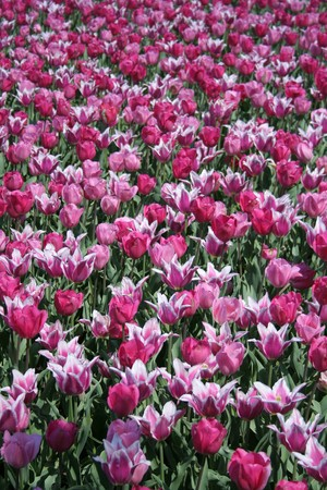 Spring Flowers: Tulips