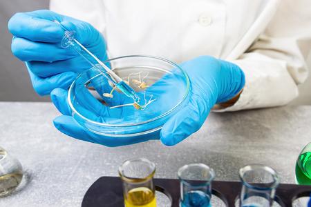 Selection Laboratory. Breeder with Petri dish. Plant breeding. Laboratory assistant. Stock Photo