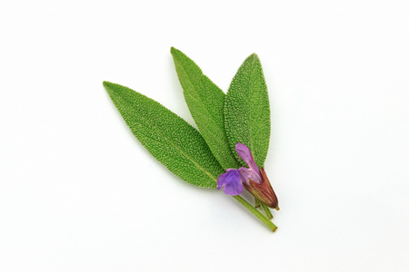 Fresh green sage leaves isolated on white background.