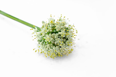 group of pearl onions in front of white background