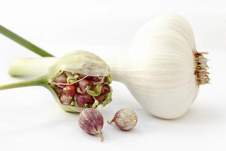 Wild garlic, Allium ursinum, in flower isolated on a white background