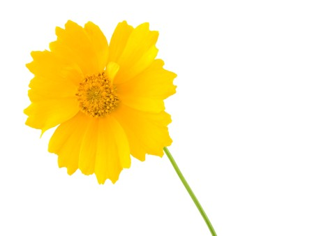 tickseed: A bright yellow coreposic isolated on white