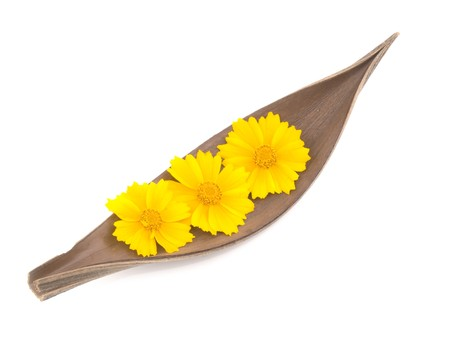 tickseed: Three yellow tickseed flowers and wooden decoration on white background