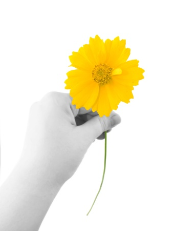 tickseed: A bright yellow coreposic holding in hand isolated on white Stock Photo