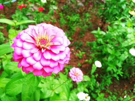 dahlia: Flor de fondo. la flor del crisantemo rosado y paisaje de la luz solar. Flor. flor rosa. crisantemo. Sunny flor. natural de la flor de la flor de la flor impresionante Foto de archivo