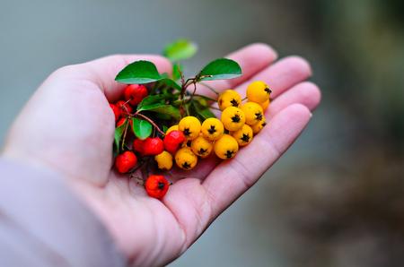 Rowan and sea-buckthorn berries in the hands