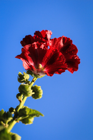hollyhock: Hollyhock over blue sky