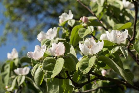 membrillo: Flores del membrillo Foto de archivo