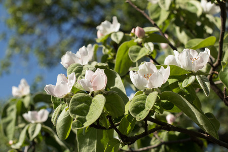 quince: Quince flowers