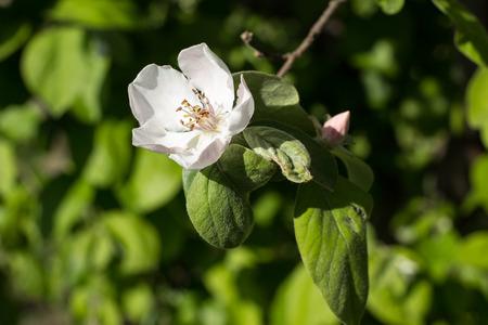 membrillo: Paisaje imagen de una flor de membrillo