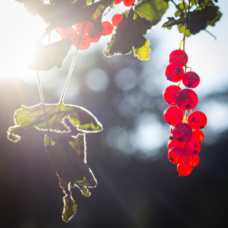 red currant: Red currant fruits on branch in the sun