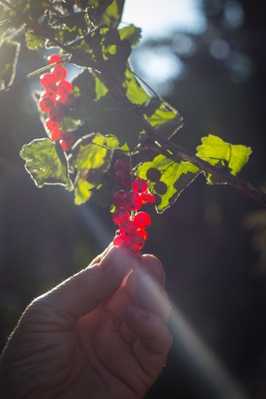 red currant: Hand picks red currant fruits from branch