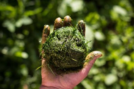 cut grass: Hand holds ball of fresh cut grass over greenery