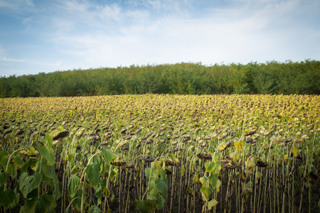 affected: Sunflower plantation affected by drought Stock Photo
