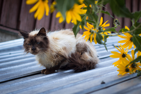 brown  eyed: Furry brown blue eyed cat on roof with yellow flowers