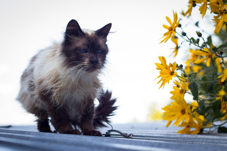 furry: Furry brown blue eyed cat on roof with yellow flowers