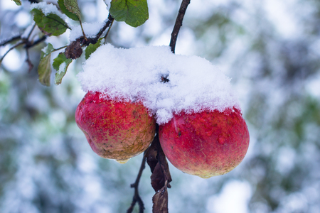 snow tree: Red apples on trees covered with snow
