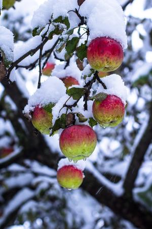 arbol de manzanas: Manzanas rojas en los �rboles cubiertos de nieve Foto de archivo
