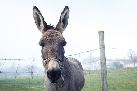 ears donkey: Curious big eared rown donkey peaking out of farm fence